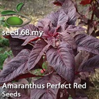 Amaranthus Perfect Red / Bayam Merah Pekat