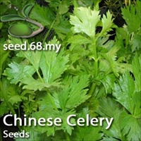 how to grow chinese celery from seed
